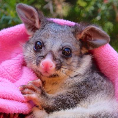 aWombaroo Possum Milk Over 0.8 250gm